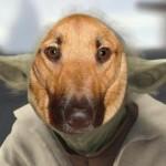 @yoda_the_dog