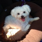 Lost Maltese Dog Named Casper in Reading, PA